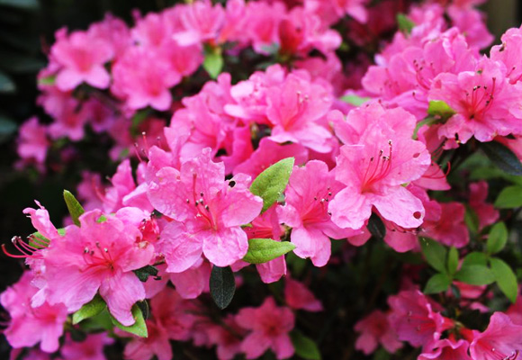 Azalea ecogreen landscaping - Care azaleas keep years ...
