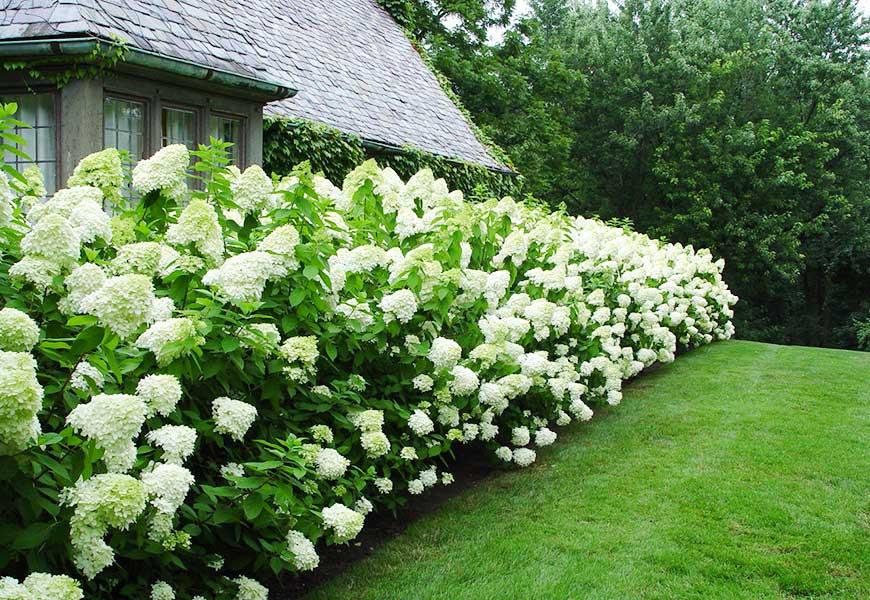 limelight hydrangea ecogreen landscaping. Black Bedroom Furniture Sets. Home Design Ideas